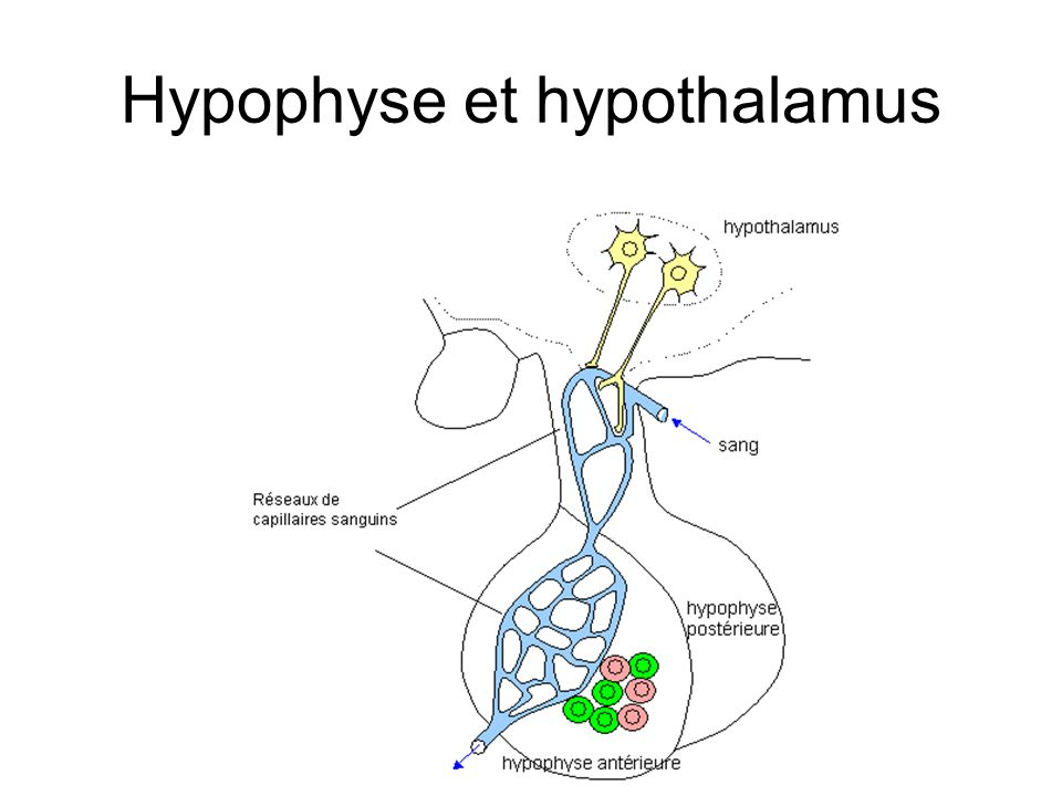 Hypophyse et hypothalamus