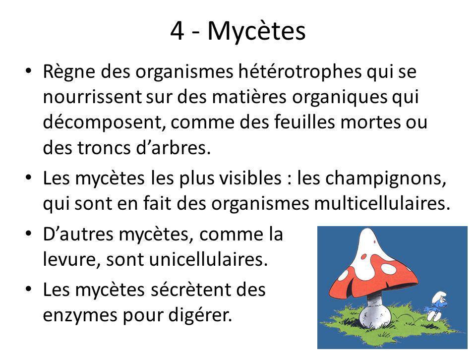 4 - Mycètes