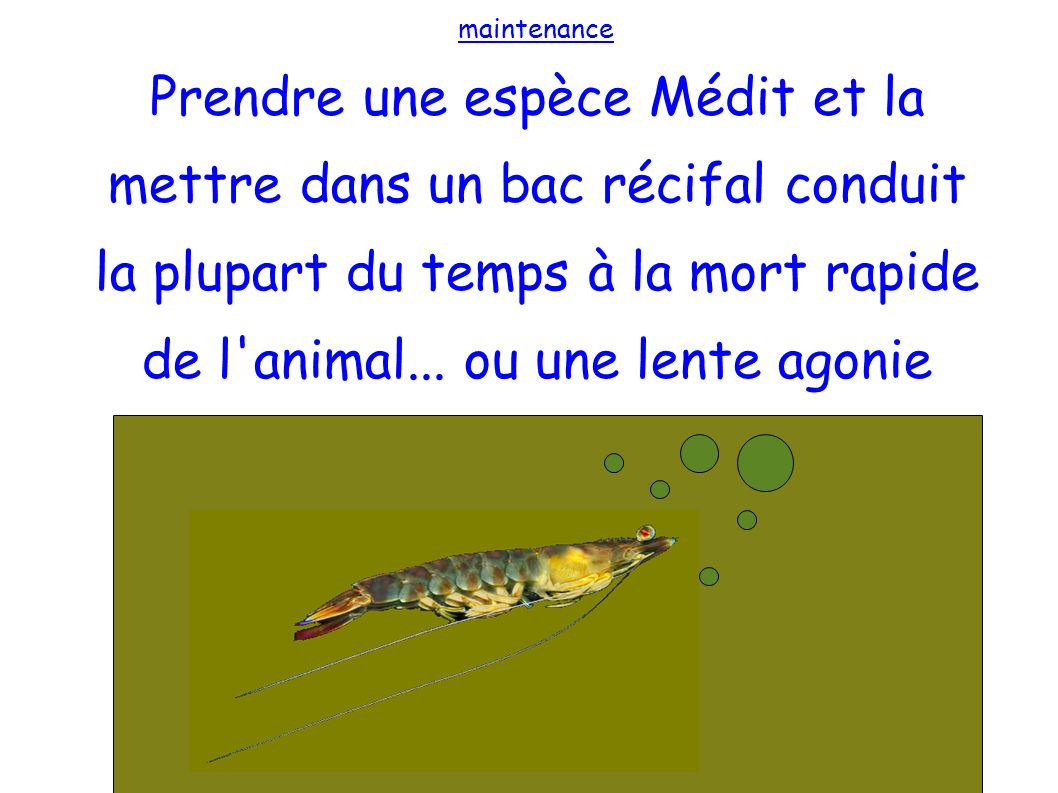 maintenance Prendre une espèce Médit et la mettre dans un bac récifal conduit la plupart du temps à la mort rapide de l animal...