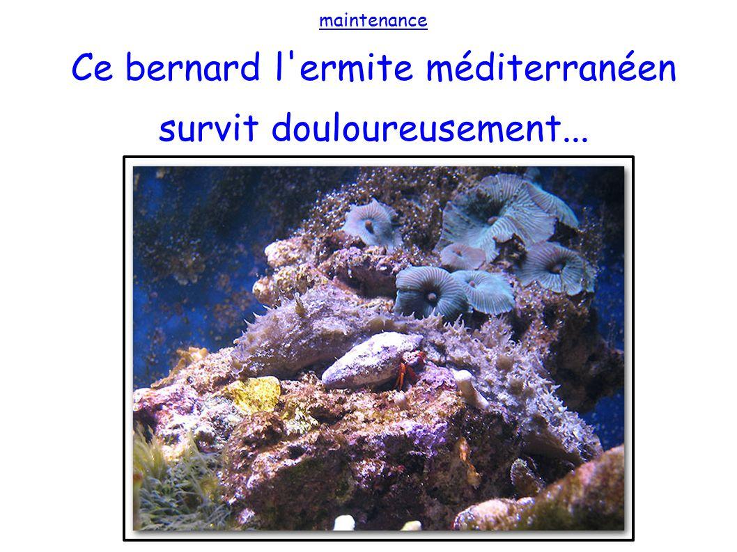 Ce bernard l ermite méditerranéen survit douloureusement...
