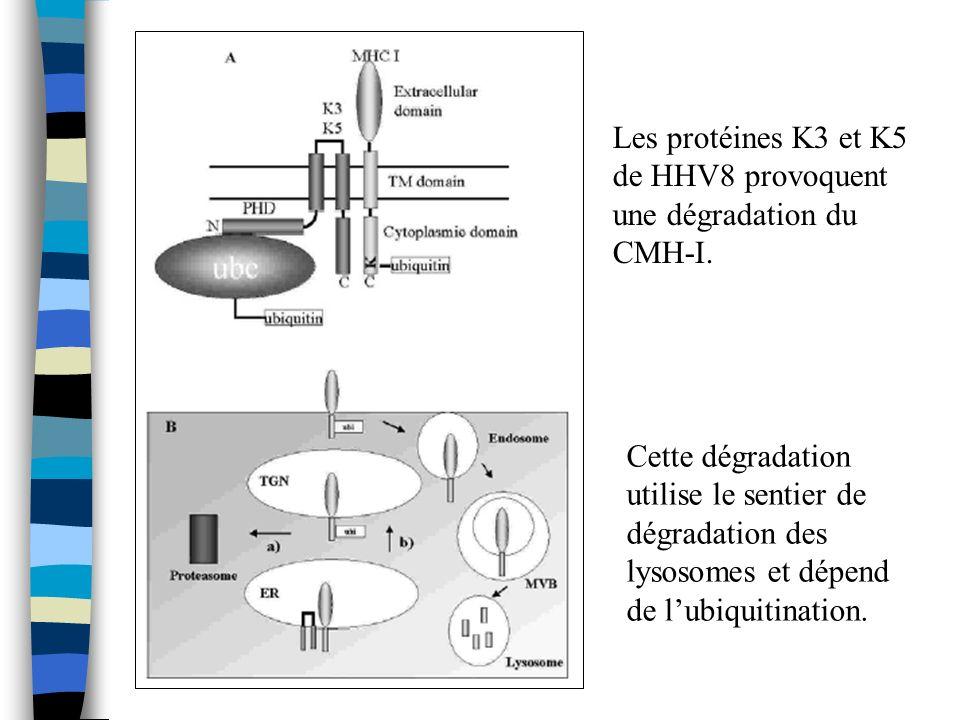 Les protéines K3 et K5 de HHV8 provoquent une dégradation du CMH-I.