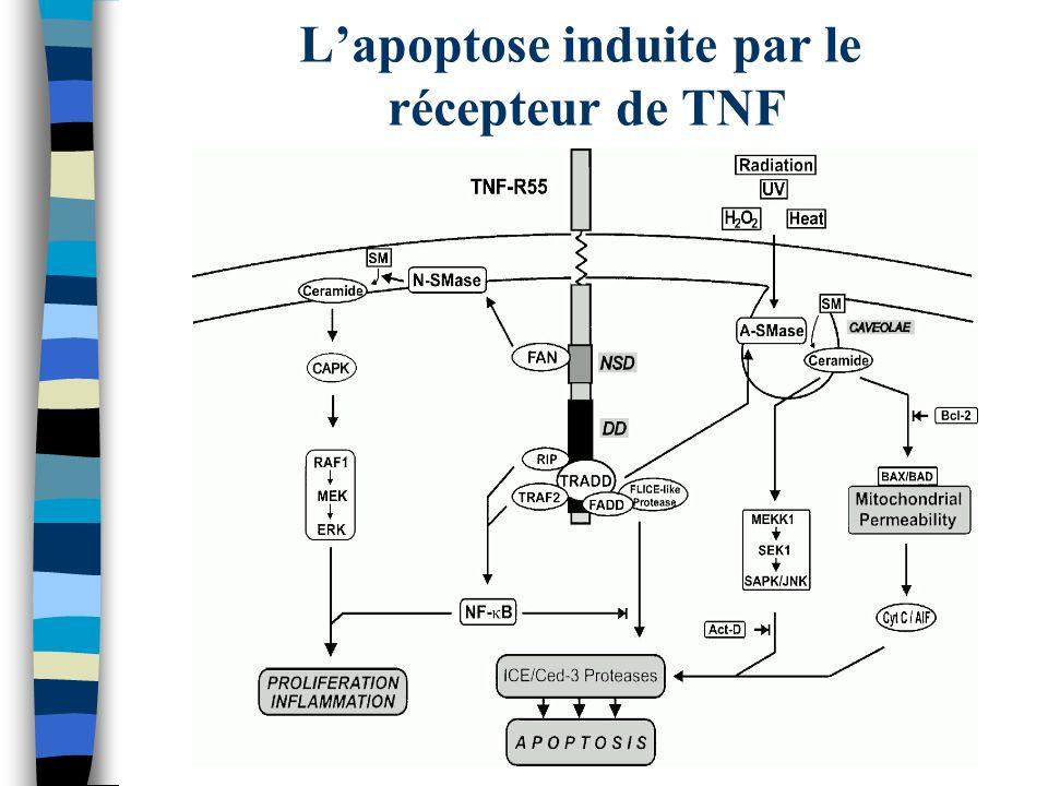 L'apoptose induite par le récepteur de TNF