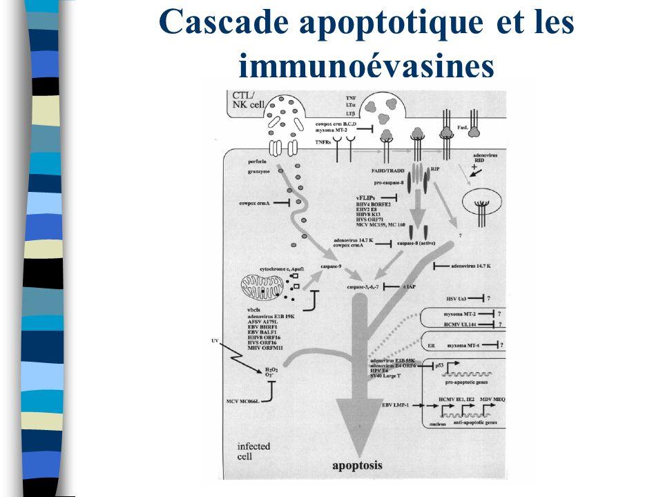 Cascade apoptotique et les immunoévasines