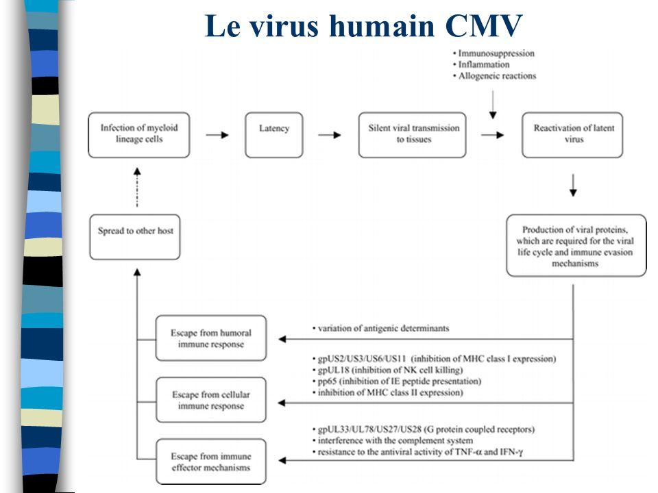 Le virus humain CMV