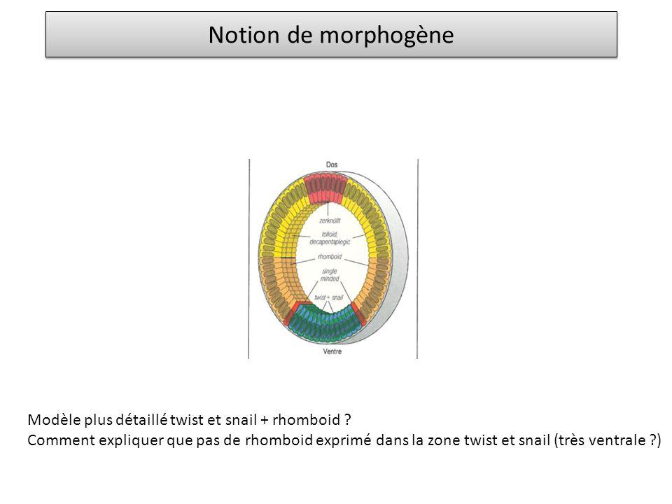 Notion de morphogène Modèle plus détaillé twist et snail + rhomboid