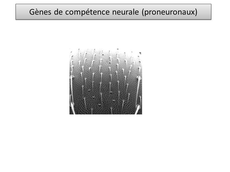 Gènes de compétence neurale (proneuronaux)