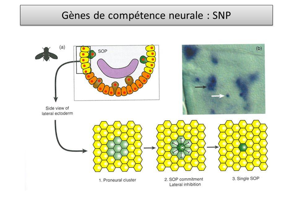 Gènes de compétence neurale : SNP