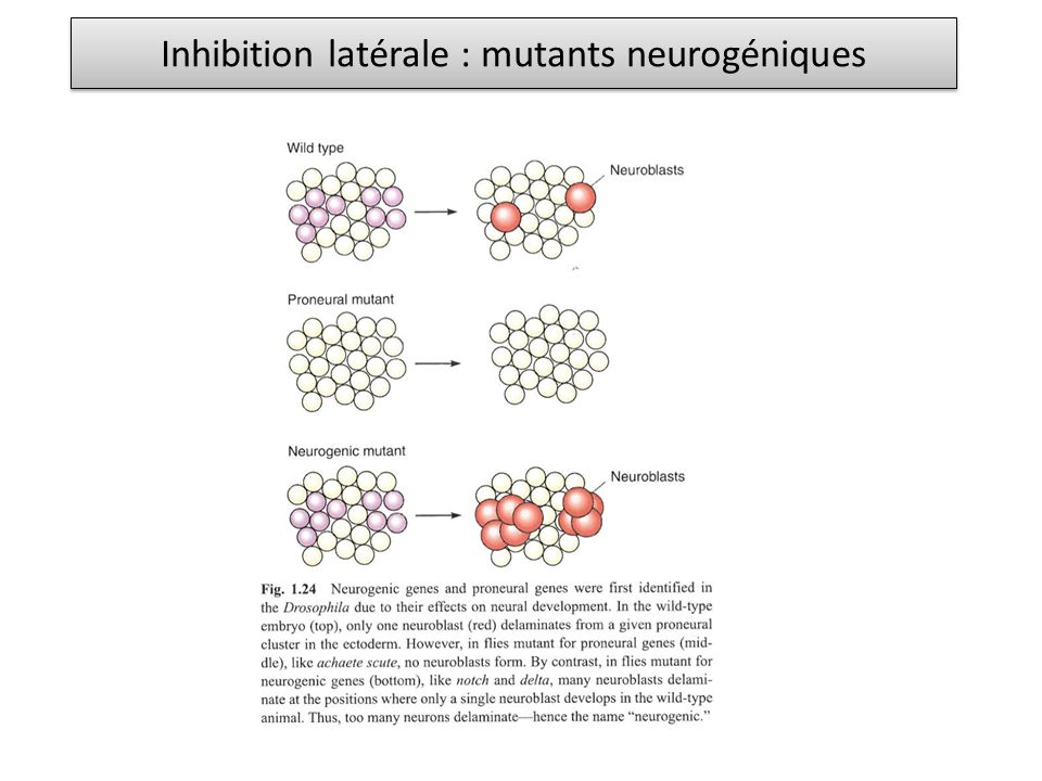 Inhibition latérale : mutants neurogéniques