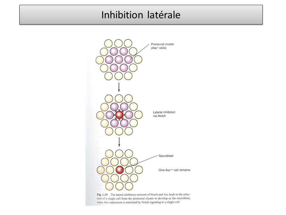 Inhibition latérale