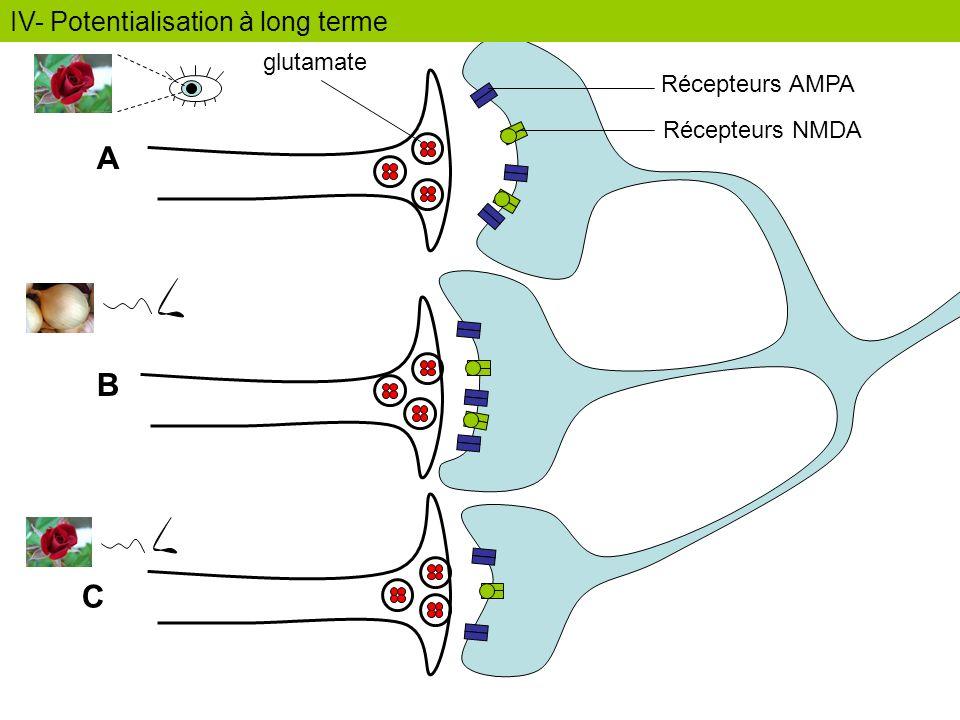 A B C IV- Potentialisation à long terme glutamate Récepteurs AMPA