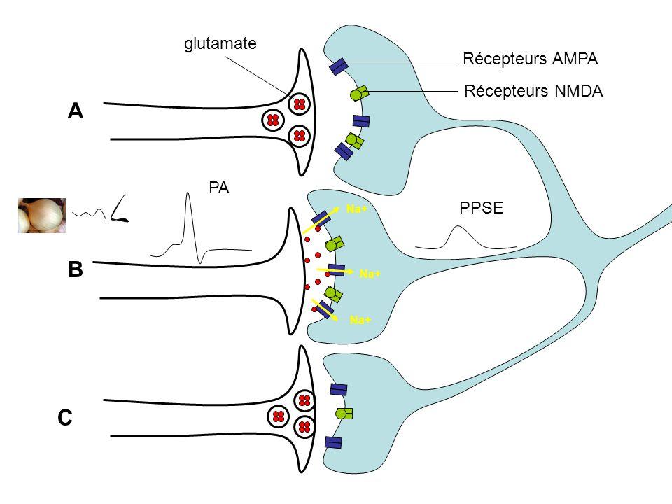 glutamate Récepteurs AMPA Récepteurs NMDA A PA Na+ PPSE B Na+ Na+ C