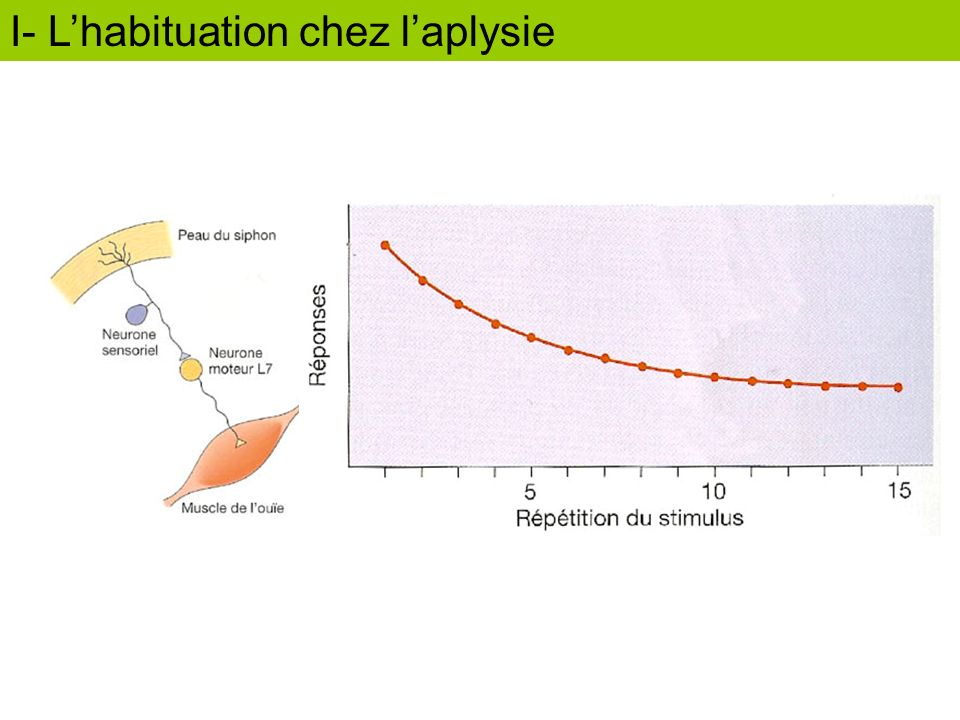I- L'habituation chez l'aplysie