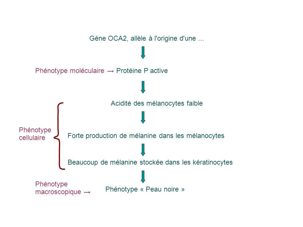 Gène OCA2, allèle à l origine d une ...