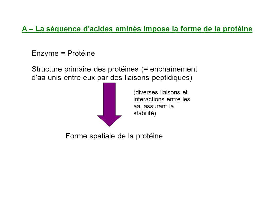 A – La séquence d acides aminés impose la forme de la protéine