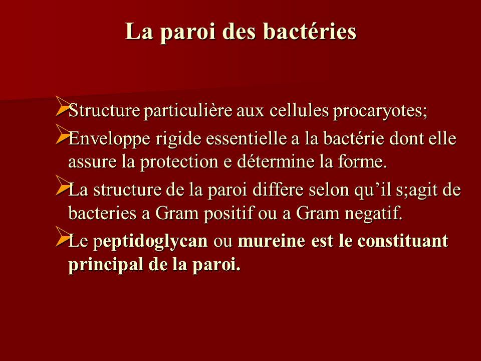 La paroi des bactéries Structure particulière aux cellules procaryotes;