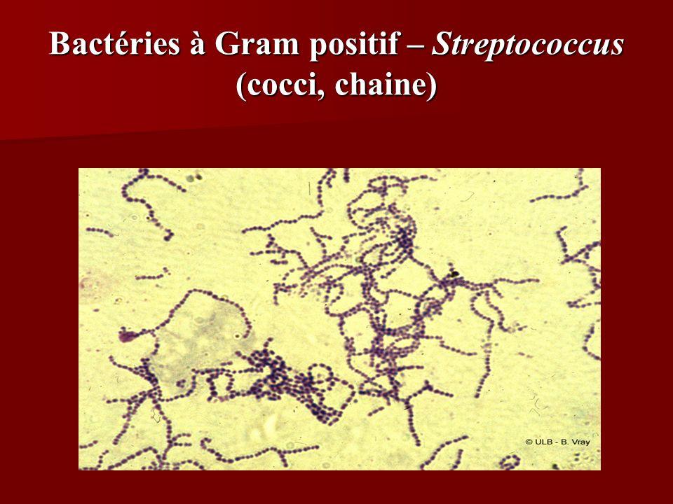Bactéries à Gram positif – Streptococcus (cocci, chaine)