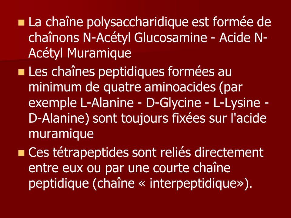 La chaîne polysaccharidique est formée de chaînons N-Acétyl Glucosamine - Acide N-Acétyl Muramique