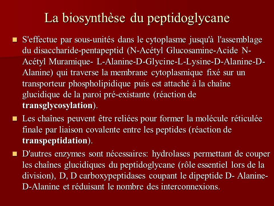 La biosynthèse du peptidoglycane