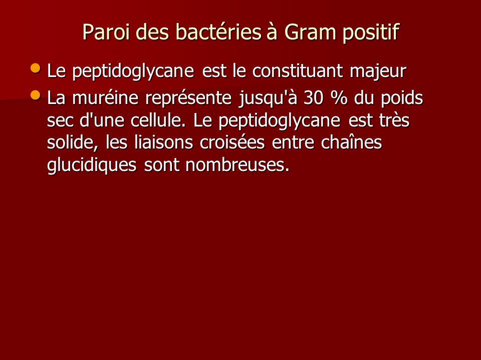 Paroi des bactéries à Gram positif