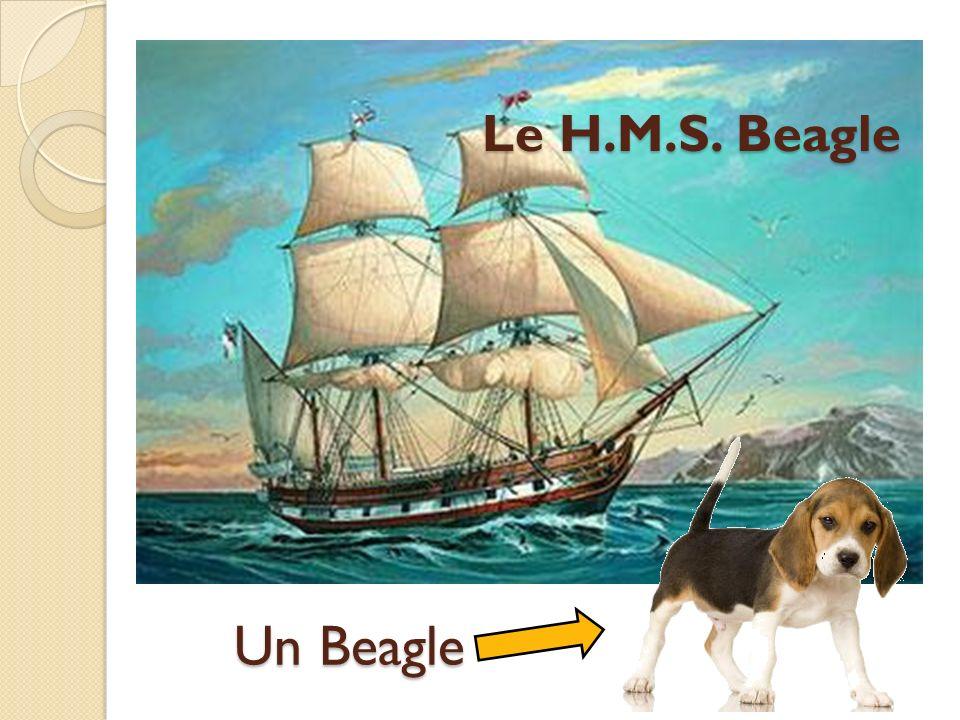 Le H.M.S. Beagle Un Beagle