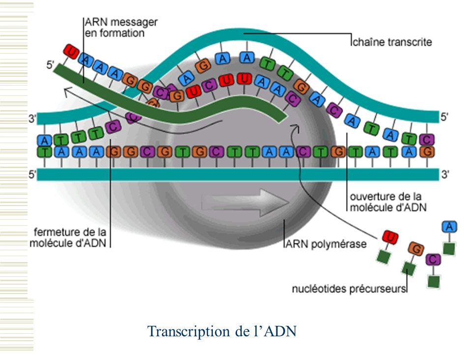 Transcription de l'ADN