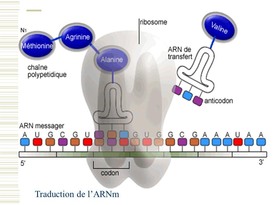 Traduction de l'ARNm