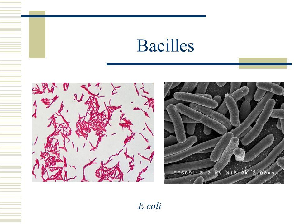 Bacilles E coli