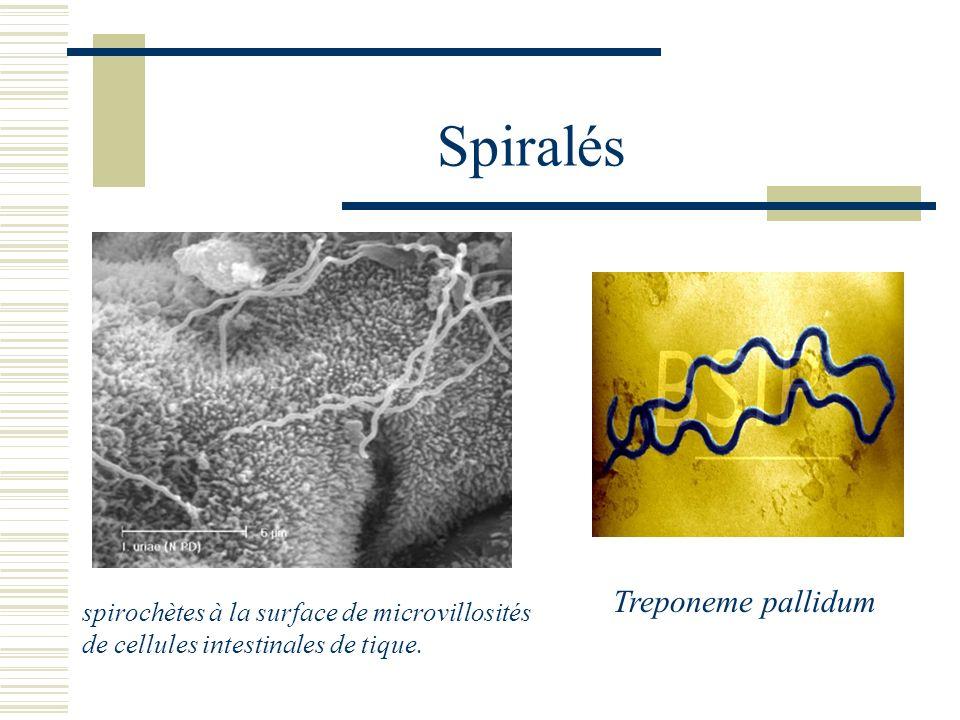 Spiralés Treponeme pallidum