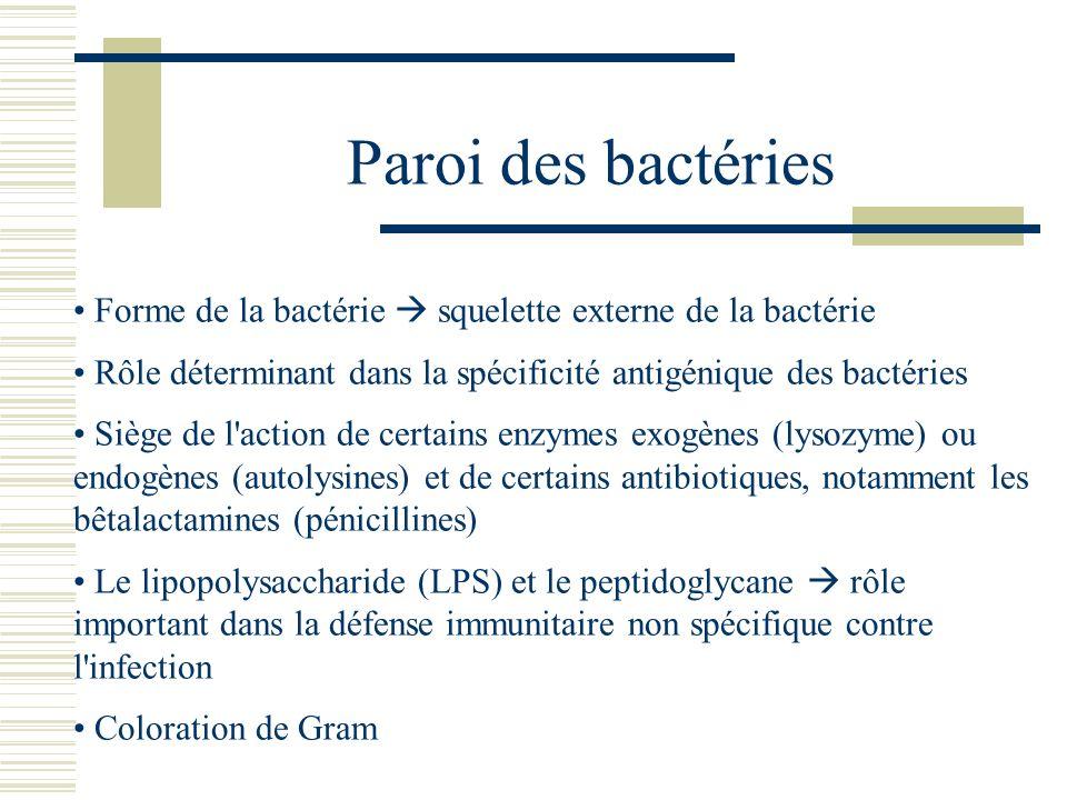 Paroi des bactéries Forme de la bactérie  squelette externe de la bactérie. Rôle déterminant dans la spécificité antigénique des bactéries.
