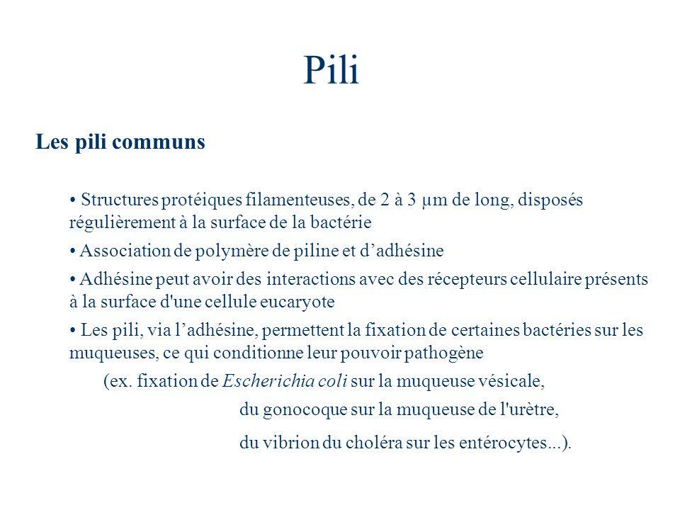 Pili Les pili communs. Structures protéiques filamenteuses, de 2 à 3 µm de long, disposés régulièrement à la surface de la bactérie.