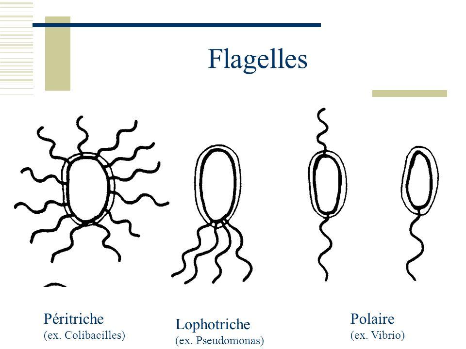 Flagelles Péritriche Polaire Lophotriche (ex. Colibacilles)