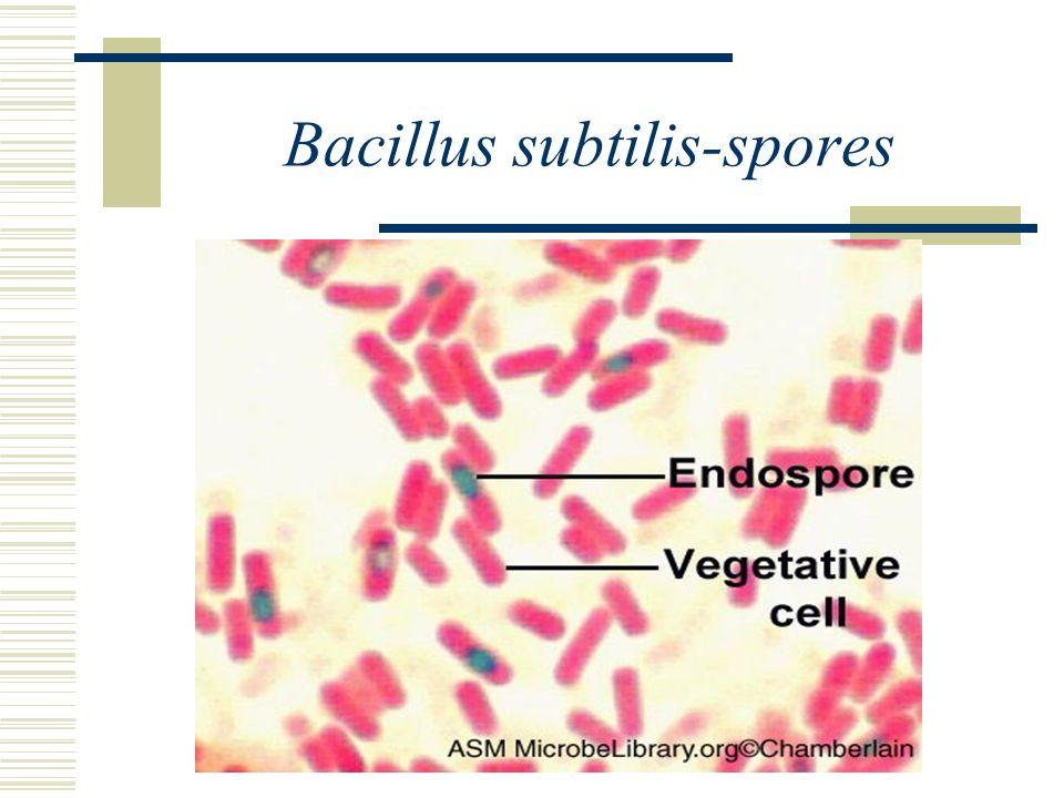 Bacillus subtilis-spores