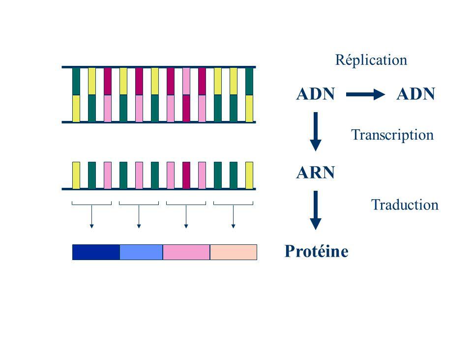 Réplication ADN ADN Transcription ARN Traduction Protéine