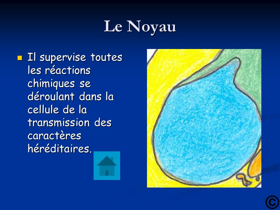 Le Noyau Il supervise toutes les réactions chimiques se déroulant dans la cellule de la transmission des caractères héréditaires.
