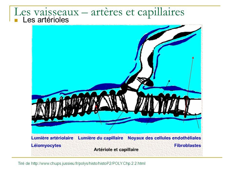 Les vaisseaux – artères et capillaires