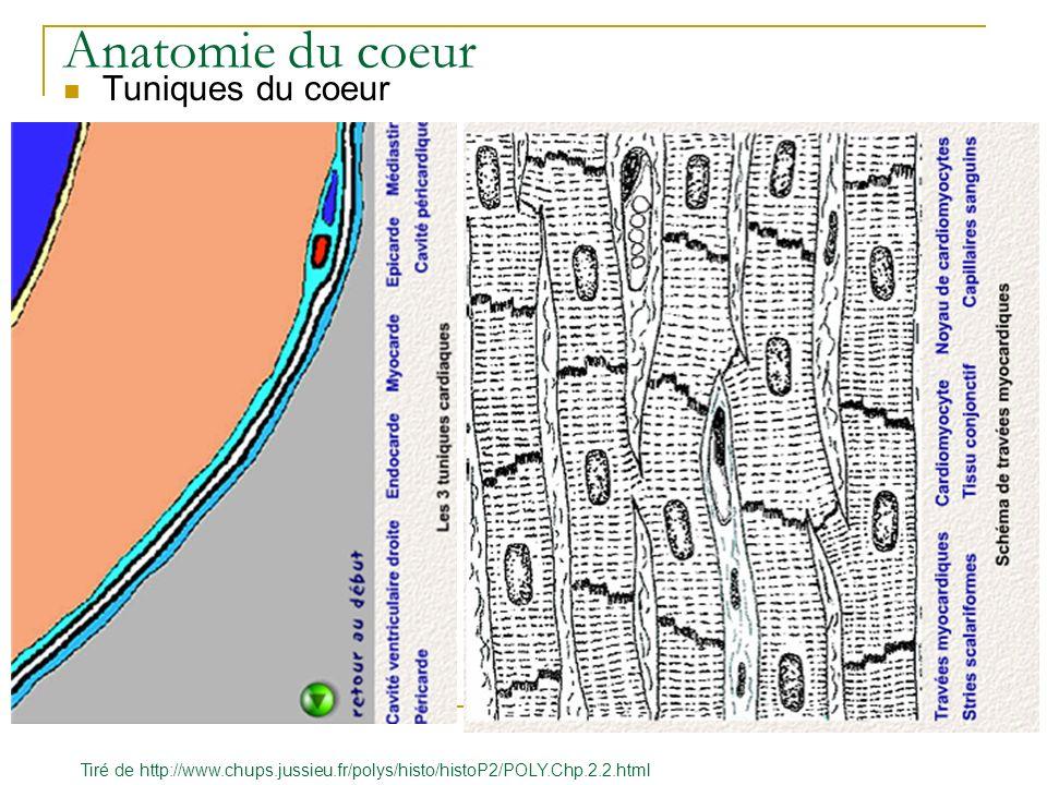 Anatomie du coeur Tuniques du coeur