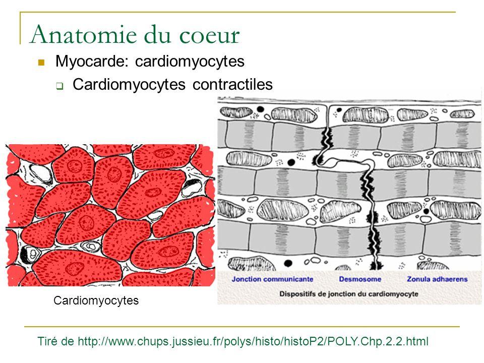 Anatomie du coeur Myocarde: cardiomyocytes Cardiomyocytes contractiles