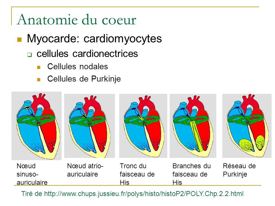 Anatomie du coeur Myocarde: cardiomyocytes cellules cardionectrices