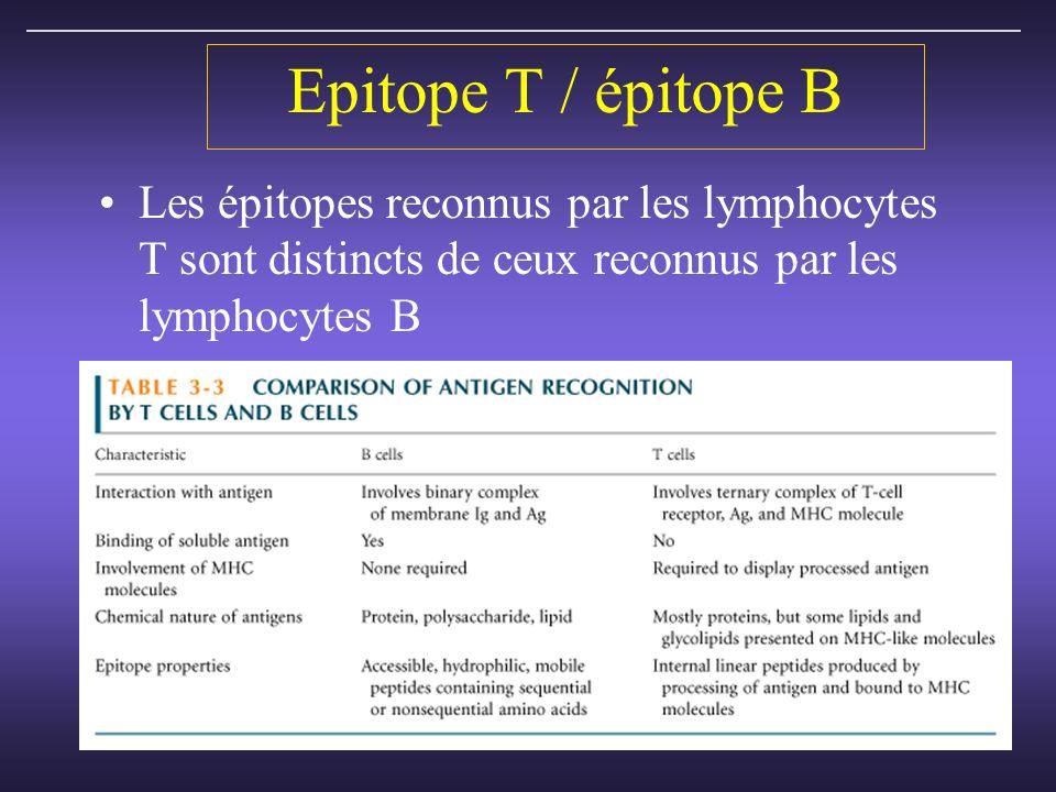 Epitope T / épitope B Les épitopes reconnus par les lymphocytes T sont distincts de ceux reconnus par les lymphocytes B.