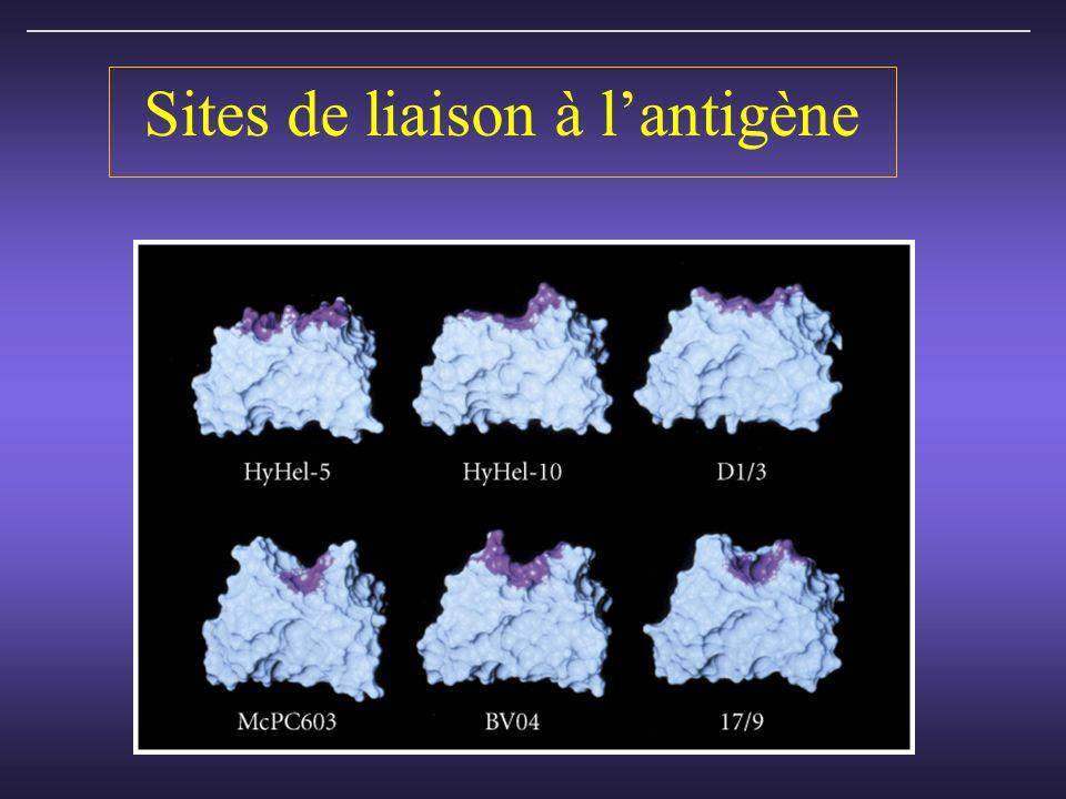 Sites de liaison à l'antigène