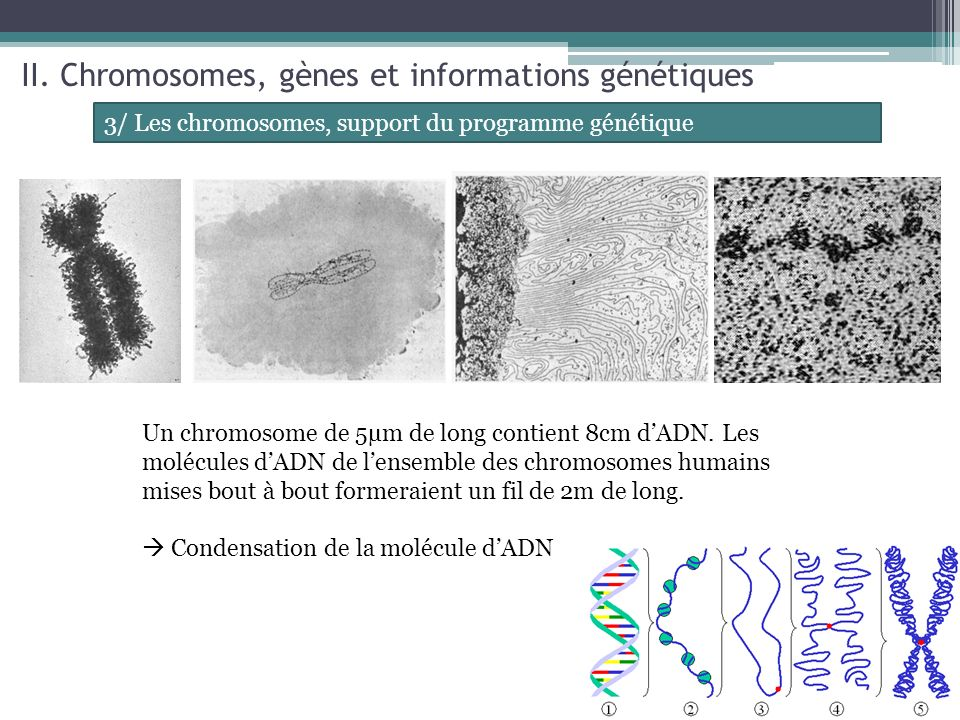 II. Chromosomes, gènes et informations génétiques