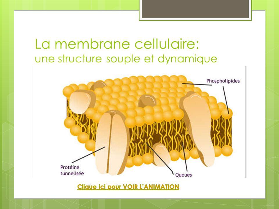 La membrane cellulaire: une structure souple et dynamique