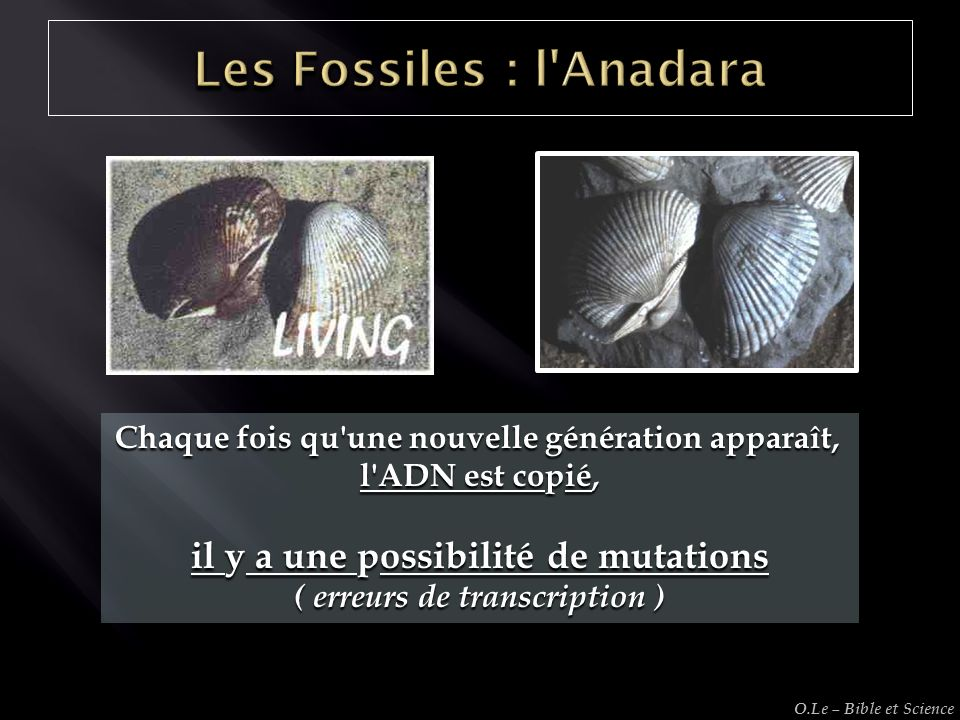 Les Fossiles : l Anadara