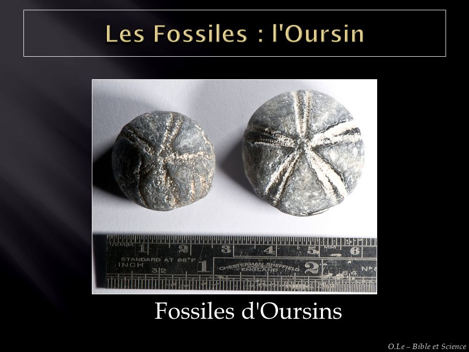Les Fossiles : l Oursin Fossiles d Oursins O.Le – Bible et Science