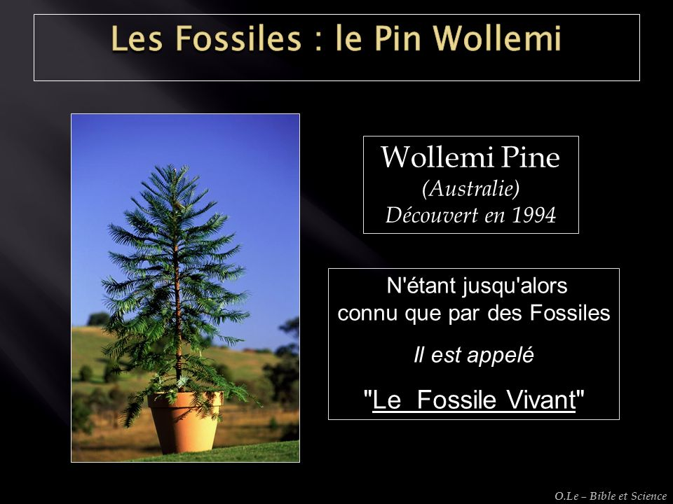 Les Fossiles : le Pin Wollemi