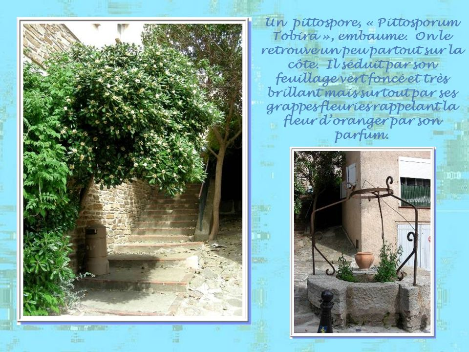 Un pittospore, « Pittosporum Tobira », embaume