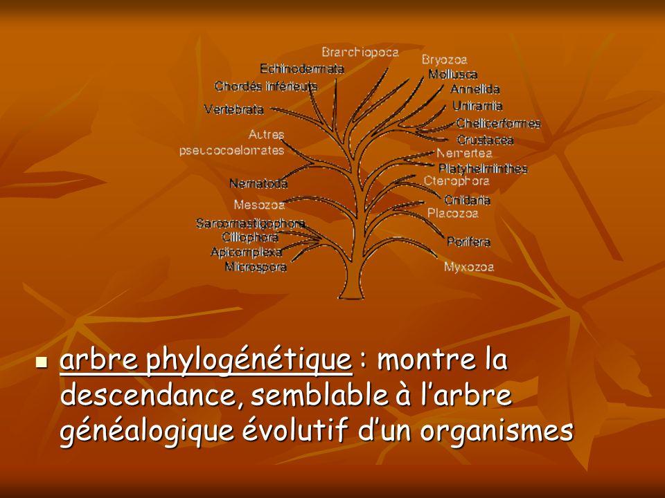 arbre phylogénétique : montre la descendance, semblable à l'arbre généalogique évolutif d'un organismes