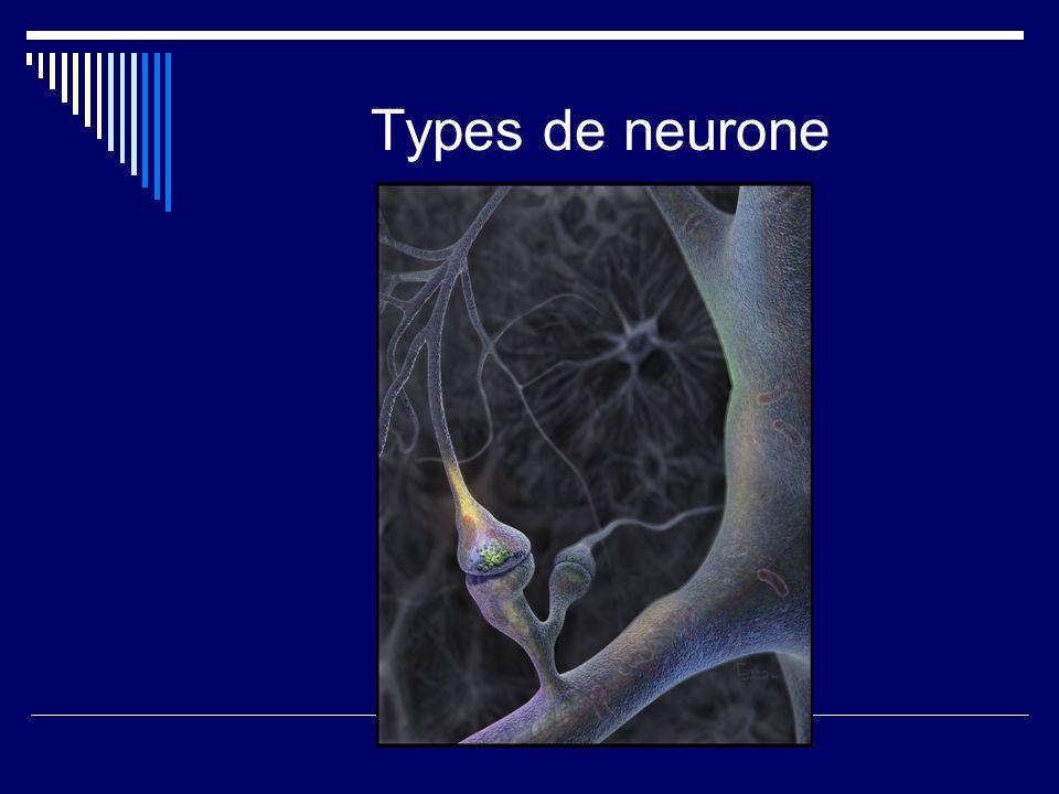 Types de neurone