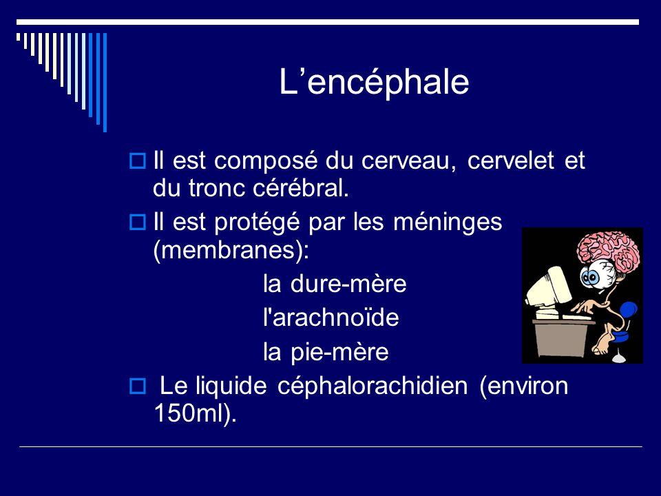 L'encéphale Il est composé du cerveau, cervelet et du tronc cérébral.
