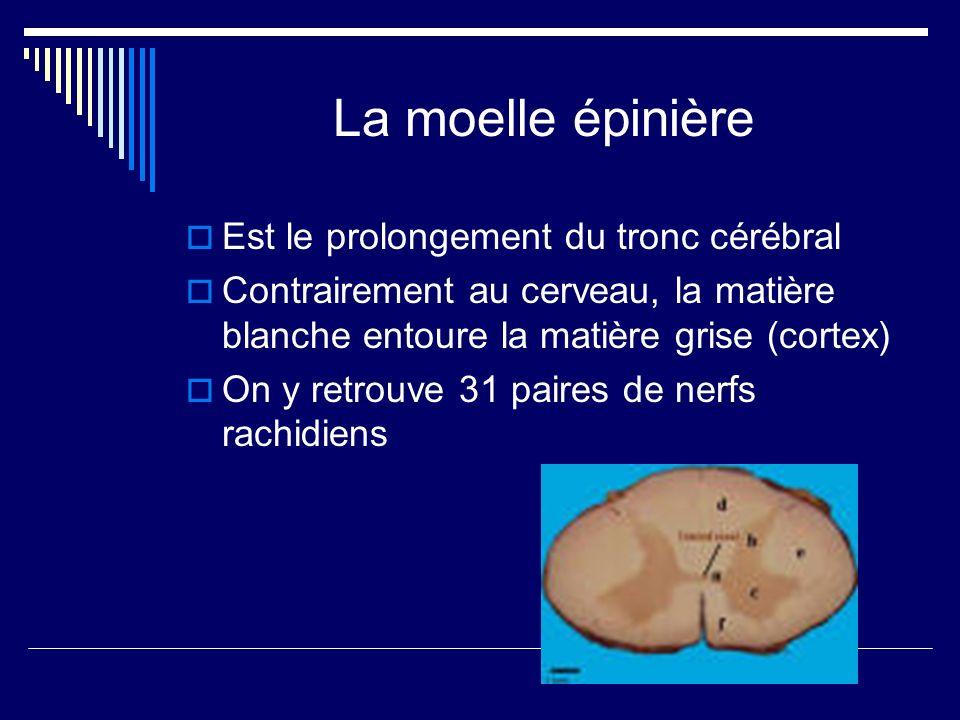 La moelle épinière Est le prolongement du tronc cérébral